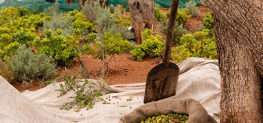 olive-harvesting-2