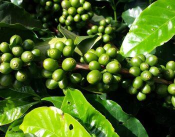 Ο αντίκτυπος του Covid-19 στις χώρες εξαγωγής καφέ!